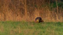 Turkey, Male, In Grass