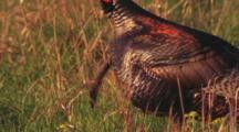 Turkey Struts Male
