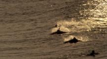 Dolphins Ride Waves With Surfers At Sunset, Slow Motion