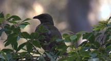 A Satin Bowerbird Preens Amidst Foliage