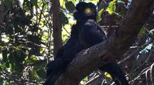 Yellow-Tailed Black-Cockatoos Rest On A Branch