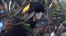 A Yellow-Tailed Black-Cockatoo Nibbles On A Banksia Cone