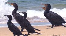 A Flock Of Cormorants Look Out For Their Next Meal