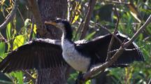 A Little Pied Cormorant Dries Its Wings After A Hunt