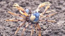 Two Soldier Crabs Fight On A Sandflat