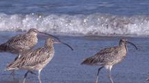 Eastern Curlews Run On A Beach