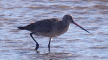 Bar-Tailed Godwit Forages In Shallow Water