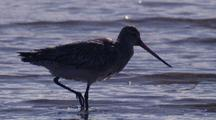 Bar-Tailed Godwit Walks And Forages In Shallow Water