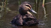 Pacific Black Duck Preens Afloat