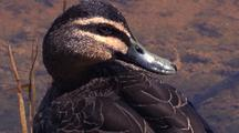 Pacific Black Duck Preens On Land