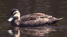 Pacific Black Duck Swims