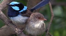 Superb Fairy-Wrens Play And Hop On Branch