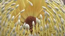 Flower-Head Of Saw Banksia (Old Man Banksia)