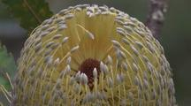 Flower-Head Of Saw Banksia Moves In The Wind
