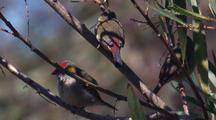 Red-Browed Finches Rest In A Bush