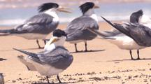 Crested Terns Linger On A Beach