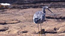 White Faced Heron Walks Over Rocks