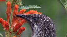 Little Wattlebird Forages On Tubular Flower-Head