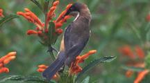 Eastern Spinebill (Male) Forages On Tubular Flower
