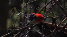 Male Scarlet Honeyeater Squabbles With Female And Flies Off