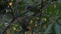 Lewin's Honeyeater Feeds Fruit To Its Young