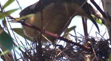 Female Eastern Spinebill Prepares Nest