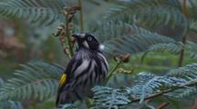 New Holland Honeyeater Hunts Flying Insects And Returns