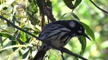 New Holland Honeyeater, Perched On Branch, Looks For Insects
