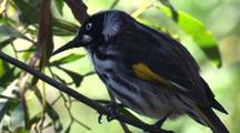 New Holland Honeyeater, Perched On Branch, Looks Out For Insects
