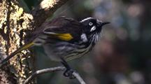 New Holland Honeyeater Perched, Preens And Leaves