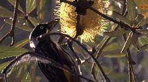 New Holland Honeyeater Feeds On Flowering Banksia