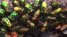 Shield Bugs Congregate On A Rainforest Log