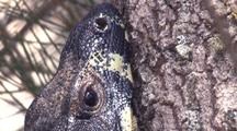 Lace Monitor Clings To A Tree Trunk