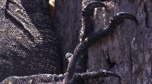 Lace Monitor, Claw On Hind Leg