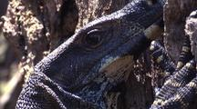 Lace Monitor Clings To Tree Trunk