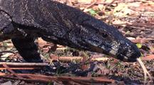 Lace Monitor Walks, Probing With His Tongue