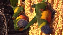 Rainbow Lorikeets Forage On The Flowers Of A Palm Tree