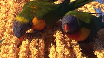 2 Rainbow Lorikeets Forage On The Flowers Of A Palm Tree
