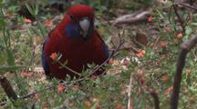 Crimson Rosella Feeds On Flower Buds