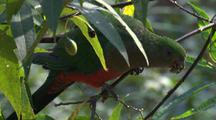 Female King-Parrot Forages On Bush Fruit Amidst Foliage
