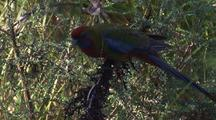 Juvenile Crimson Rosella Feeds On Seeds