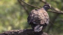Common Bronzewing Flies Off Branch