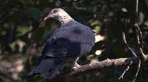 White-Headed Pigeon Flies Off Branch