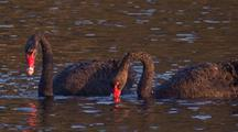 Black Swans Forage For Water Plants