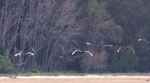 A Group Of 6 Black Swans Fly Past The Camera