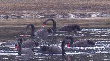 A Group Of 6 Black Swans Forage For Aquatic Vegetation