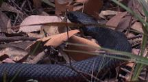 Red-Bellied Black Snake With Flattened Neck Area