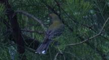 A Grey-Backed Silvereye Feeds On Kangaroo Apple