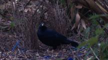 A Male Satin Bowerbird Performs Bower Maintenance