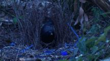A Male Satin Bowerbird Performs Maintenance At The Bower